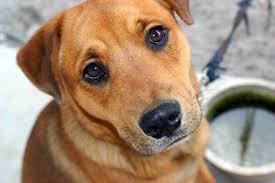 Rene policistico nel cane: sintomi, cause e terapia