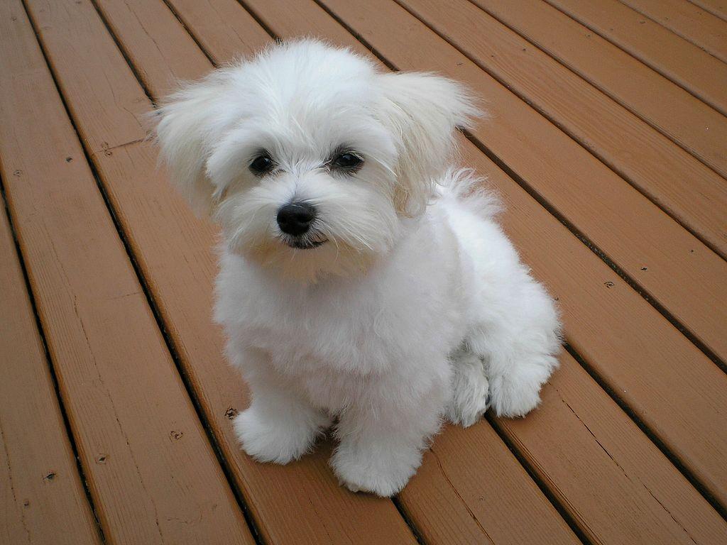 cane maltese