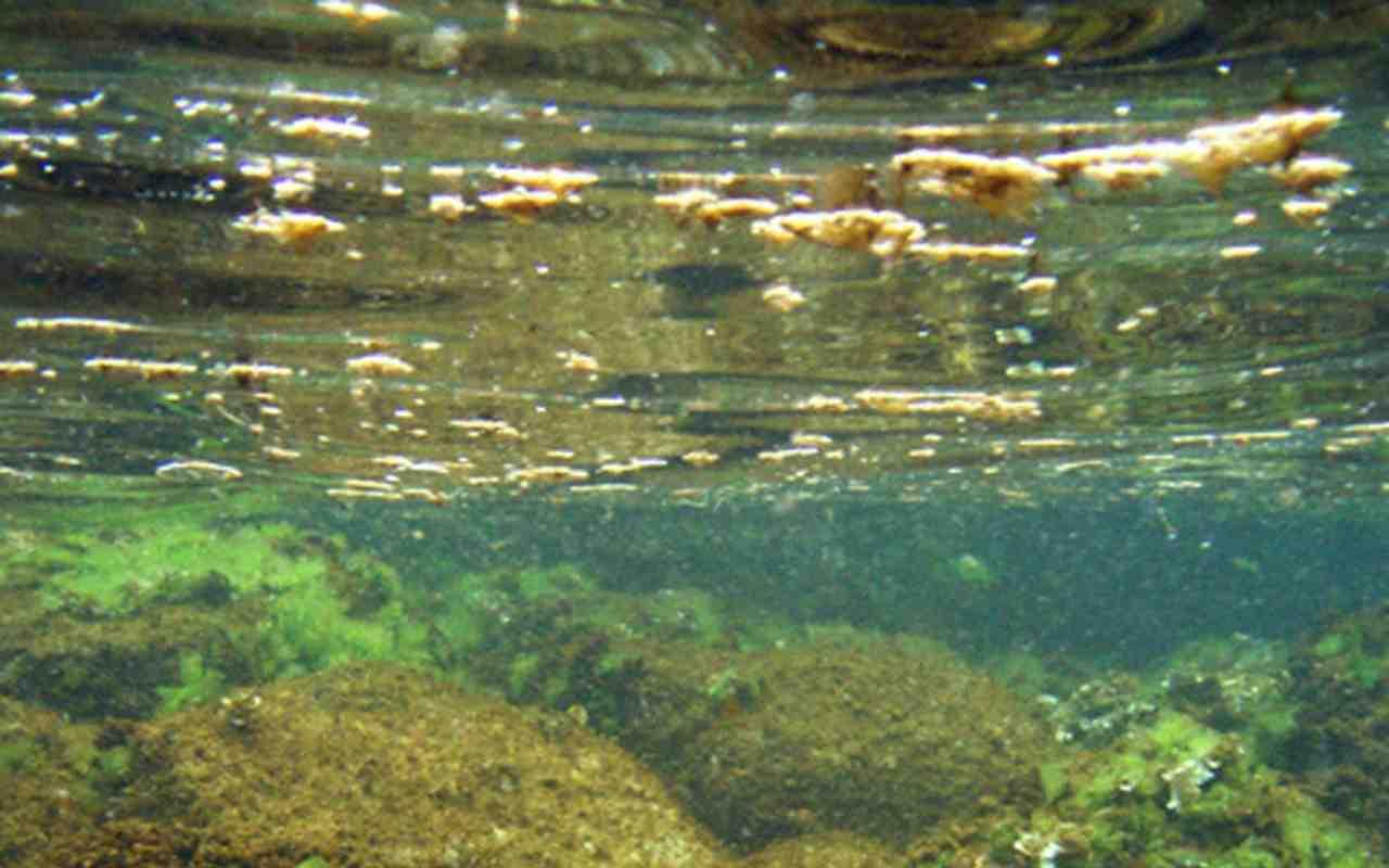Bari, paura per l'alga tossica: alte concentrazioni nella zo