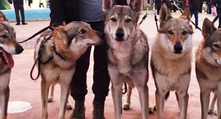 Cani sbranano donna